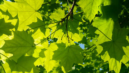 Fresh green maple foliage illuminated by bright sunlight, close-up Standard-Bild