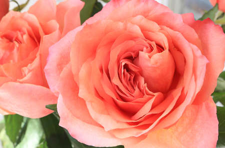 Beautiful delicate pink roses, close-up