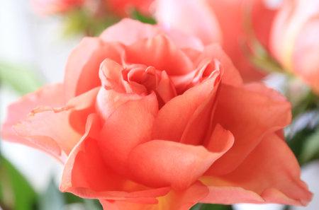 Beautiful delicate pink rose flower, soft focus, close-up natural background Standard-Bild