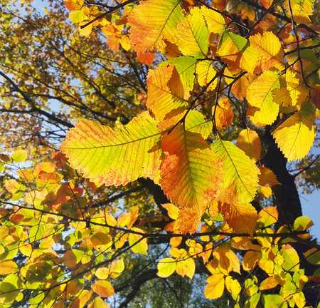 Beautiful branches of autumn elm-tree with bright golden leaves glowing in the sunlight Standard-Bild