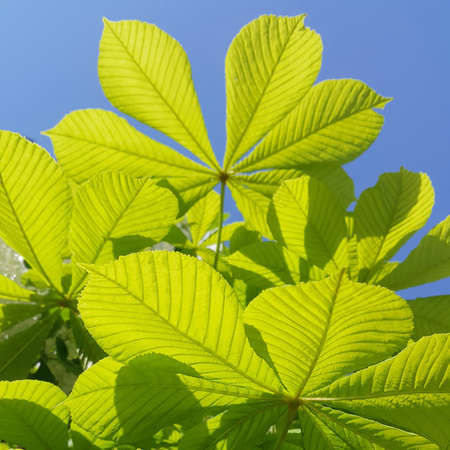 Branch of chestnut tree with fresh green leaves closeup on blue sky background