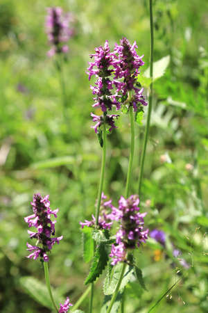 Betonica officinalis medicinal plant and perennial herb in a summer field