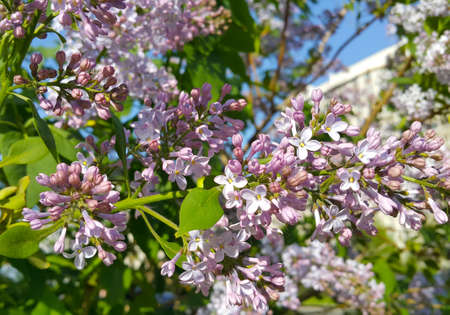 Beautiful bright spring flowers of blooming lilac bush, close-up Standard-Bild