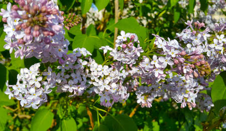 Beautiful flowers of blooming lilac bush, close-up