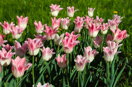 Beautiful delicate pink and white tulips lit by the sun in spring park