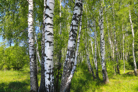 Beautiful birch trees at the edge of the forest, summer landscape