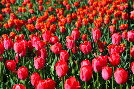 Beautiful scarlet tulips lit by the sun in spring park