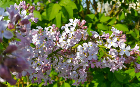 Beautiful spring branches of blooming lilac bush, close up Standard-Bild