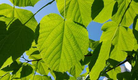 Fresh green leaves of spring linden tree lit by sunlight, closeup Standard-Bild