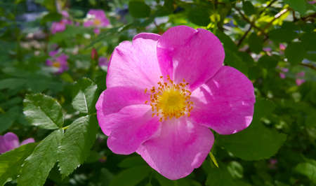 Beautiful pink flowers of dog rose bush, close-up