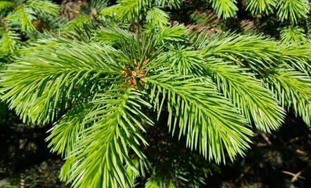 Beautiful fresh branch of evergreen coniferous tree in sunlight, close-up