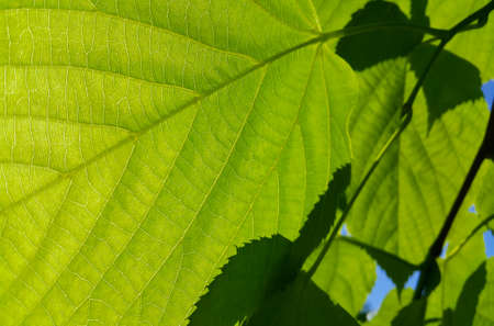 Fresh green leaves of spring linden tree lit by sunlight, close-up