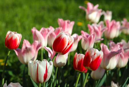 Beautiful red, pink and white tulips lit by the sun in spring park Standard-Bild