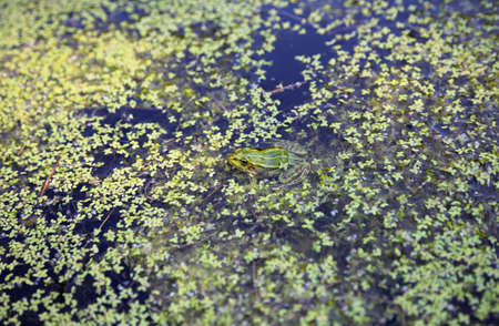 Green frog in the swamp, close-up Standard-Bild