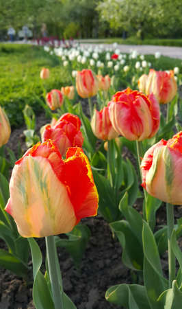 Beautiful bright colorful tulips close up in the spring park Standard-Bild