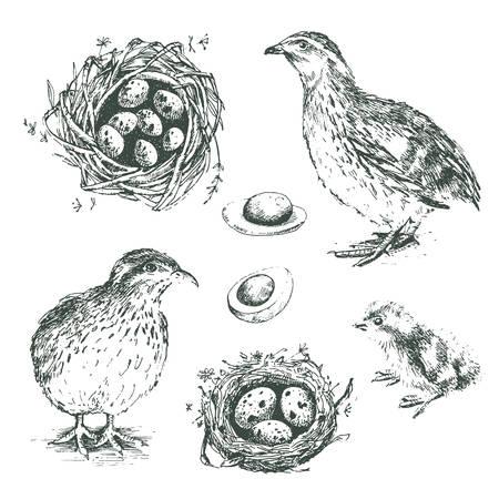 메 추 라 기, 병아리, 계란 및 ne 벡터 그래픽 삽화의 집합