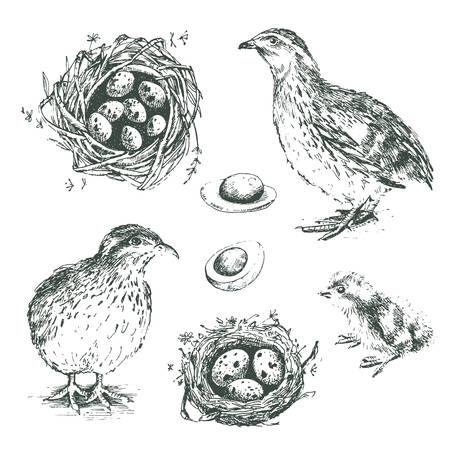 Set of vector graphic illustrations of quail, chick, eggs and ne Illustration