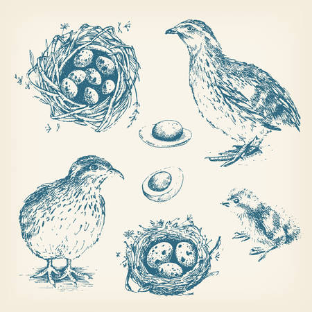 Set of vector graphic illustrations of quail, chick, eggs and ne