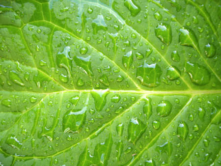 Hydrangea leaf captured in the early morning after the rainfall. Stock Photo