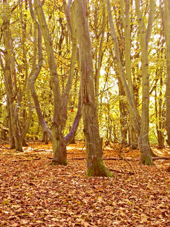 Autumn time in an Irish woodland Stock Photo