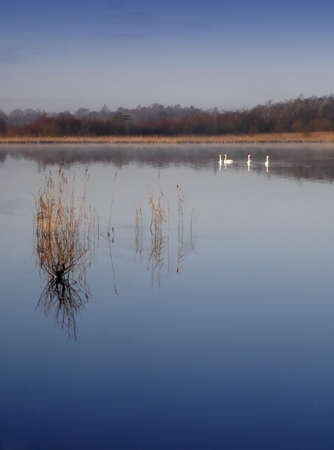 A Group of Swans on a Mirror Still Lake. Stock Photo