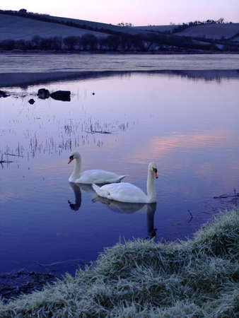 Two Swans on a partially frozen lake just before sunrise Stock Photo