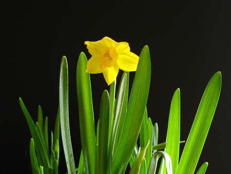 Single Daffodil On Black Stock Photo