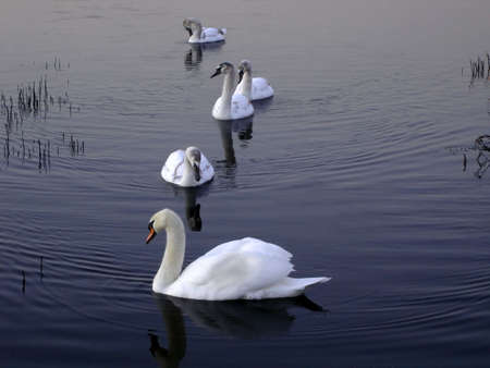 Group of five swans on a calm lake