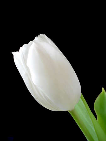A single white tulip isolated on a black background