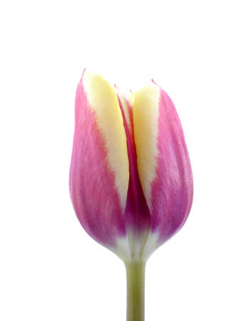 A single purple and yellow tulip isolated on white Stock Photo - 854084