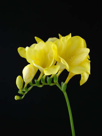 A single stem of yellow freesia on a black background                                Stock Photo - 854080