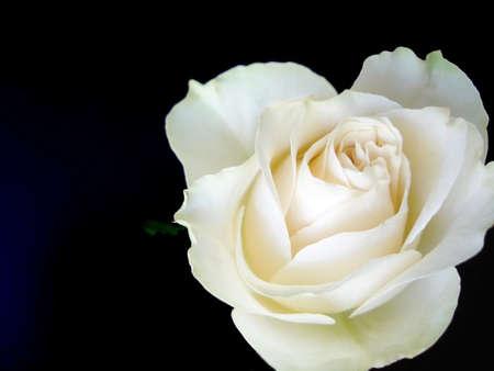 White Rose on Black