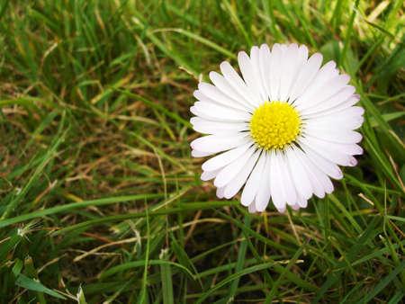Single Daisy                                Stock Photo - 943525