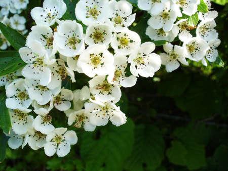 White Flowers of the Hawthorne Bush                                Stock Photo