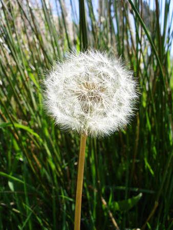 Dandelion Clock in a Field