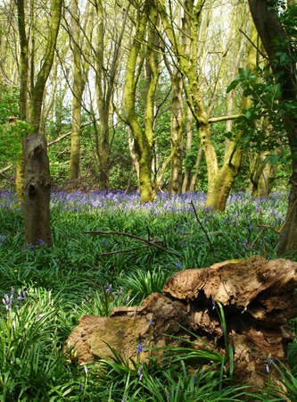 Bluebells at Oxford Island, Co. Armagh, Ireland photo
