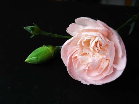 Single pink spray carnation                              Stock Photo