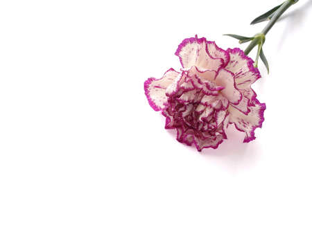 Purple and White Carnation Isolated on White