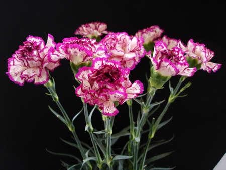 Purple and Cream Carnations on Black