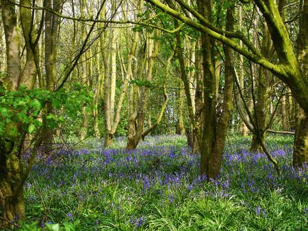 Bluebells woodland at Oxford Island, Co. Armagh, Ireland                                Stock Photo - 955427