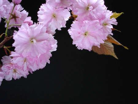 Pink Cherry Blossom On Black                                Stock Photo