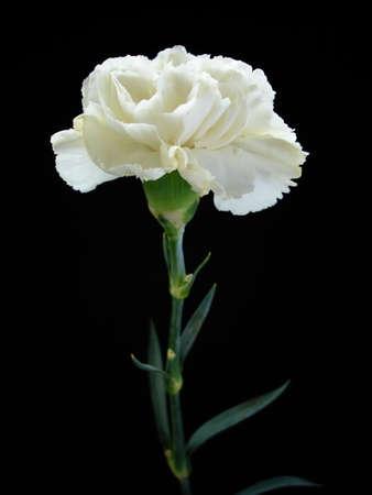 White Carnation on Black