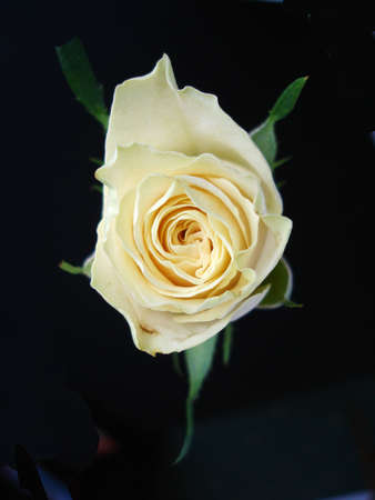Cream Rose Isolated On Black