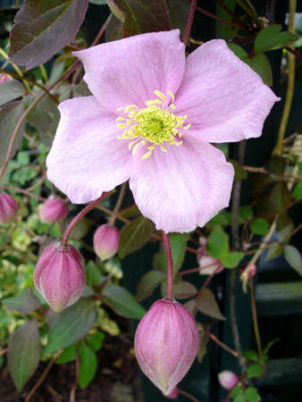 Pink Clematis Flower and Buds                                Stock Photo