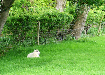 Single Lamb resting in a field                                Stock Photo