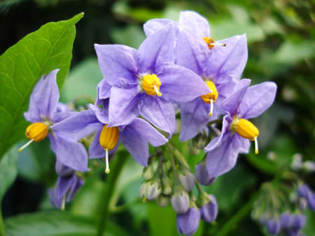 Perennial Nightshade, botanical name Solanum Glasnevin