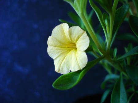 trailing: Yellow Calibrachoa, summer flowering petunia lookalike trailing plant