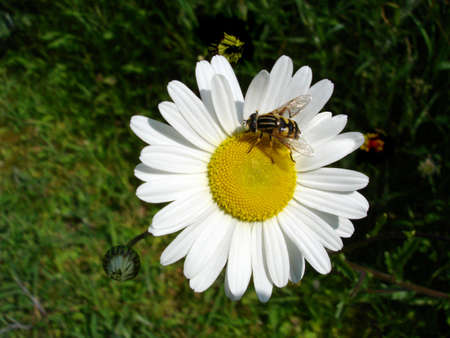 Bee Collecting Pollen On A White Daisy