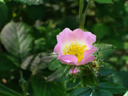 Pink Wild Rose                                Stock Photo
