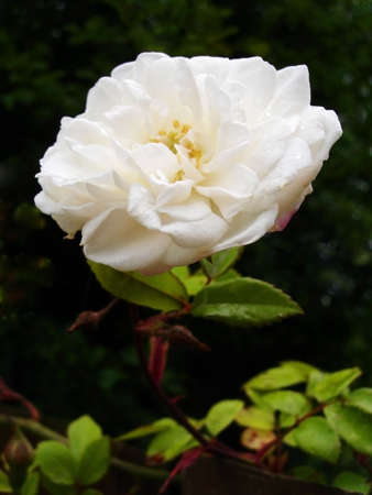 Old Fashioned White Single Flower Climbing Rose With Raindrops